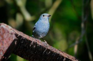 Plumbeous Redstart (Taiwan)