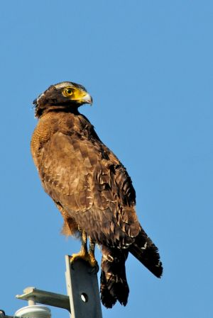 Crested Serpent Eagle (Taiwan)