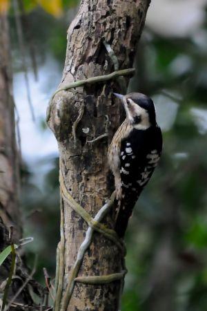 Grey-capped Pygmy Woodpecker (Taiwan)