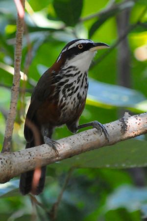 Streak-breasted Scimitar Babbler (Taiwan)