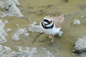 Little Ringed Plover (Taiwan)
