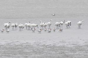 Black-faced Spoonbill (Taiwan)