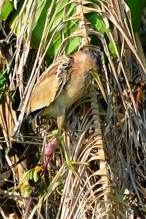 Yellow Bittern (Taiwan)