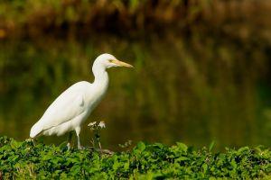 Cattle Egret (Taiwan)