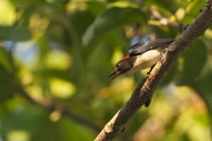 Scarlet-backed Flowerpecker (Thailand)