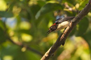 Scarlet-backed Flowerpecker (Thailand)