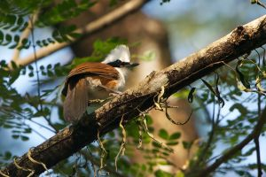 White-crested Laughingthrush (Thailand)