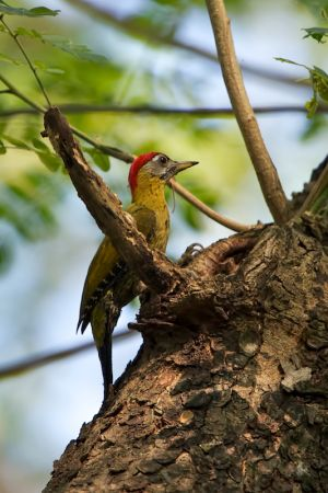 Laced Woodpecker (Thailand)