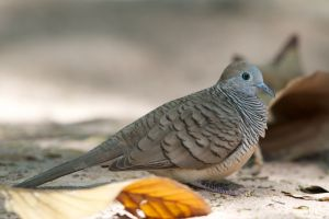 Peaceful Dove (Thailand)