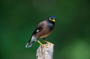 Common Myna (Thailand)