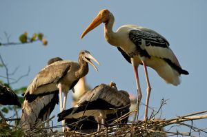Painted Stork (Thailand)