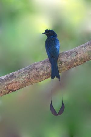 Greater Racket-tailed Drongo (Thailand)