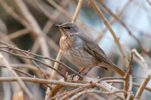 Red-throated Thrush (China)