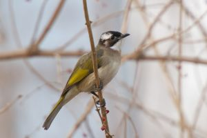 Light-vented (Chinese) Bulbul (China)