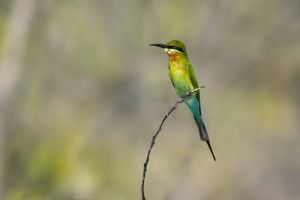Blue-tailed Bee-eater (Thailand)