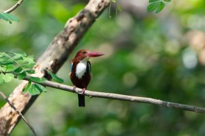 White-throated Kingfisher (Thailand)