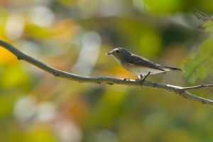 Asian Brown Flycatcher (Thailand)