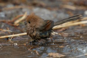 Vinous-throated Parrotbill (China)