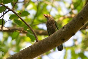 Lineated Barbet (Thailand)