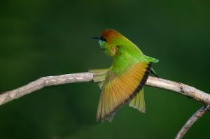 Green Bee-eater (Thailand)
