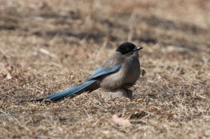 Azure-winged Magpie (China)