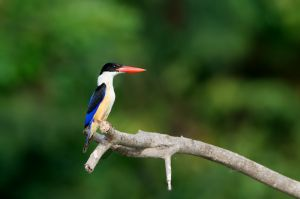 Black-capped Kingfisher (Thailand)