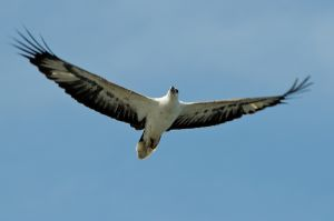 White-bellied Sea Eagle (Malaysia)