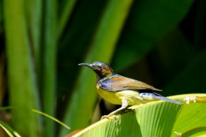 Brown-throated Sunbird (Malaysia)