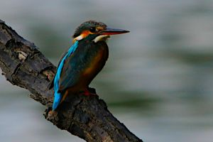 Common Kingfisher (Malaysia)