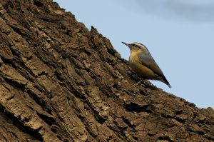 Chinese Nuthatch (China)