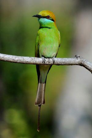 Green Bea-eater (Thailand)