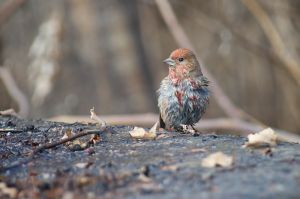 Pallas' Rosefinch (China)