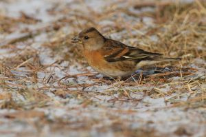 Brambling (China)