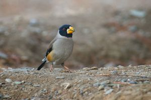 Chinese Grosbeak - male (China)