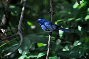 Black-naped Monarch (Taiwan)