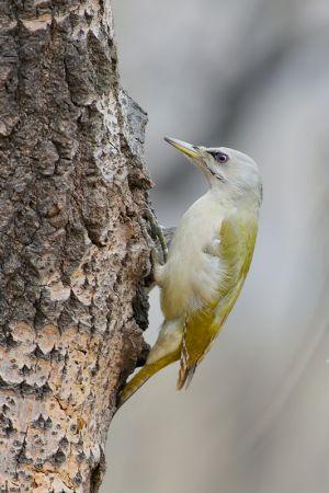 Grey-headed Woodpecker (China)