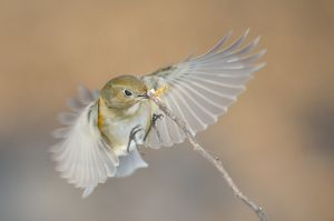 Red-flanked Bluetail (China)