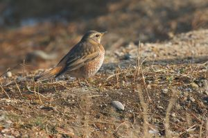 Naumann's Thrush (China)
