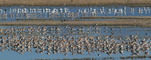 Many American Avocets and other species