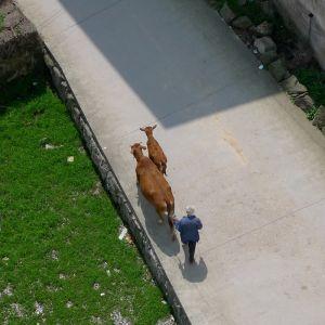 Walking the Cows (China, 2010)