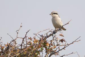 Great Grey Shrike | Klapekster