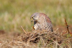 Eurasian Kestrel | Torenvalk
