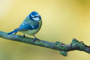 Blue Tit | Pimpelmees
