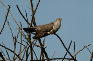 Common Cuckoo | Koekoek (Zevenhuizen)