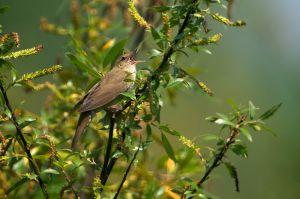 River Warbler | Krekelzanger (Kandelaar)
