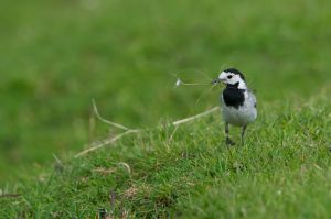 White Wagtail | Witte Kwikstaart (Zevenhoven)