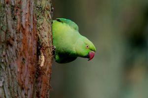 Ring-necked Parakeet | Halsbandparkiet (Den Haag)