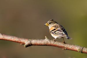 Brambling | Keep (Den Haag)