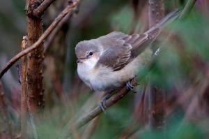 Barred Warbler juv. | Sperwergrasmus (Maasvlakte)