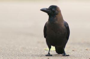 House Crow | Huiskraai (Den Haag)